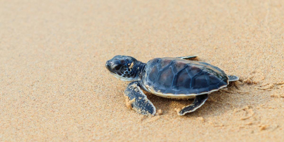 Sea Turtle Release Season in Puerto Vallarta is Here